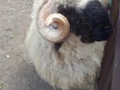 Juodasnukis avinas