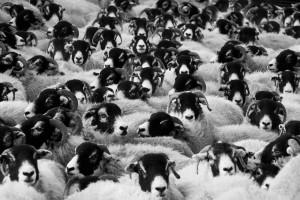 Avių ir avinų banda